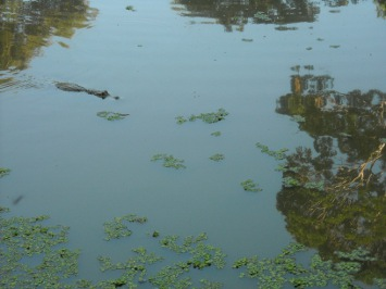 A crocodile in the Amazonas