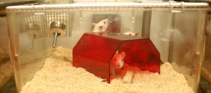 Rat in Research for Animal testing, Image by Understanding Animal Research, public domain